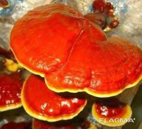 Reishi mushroom , Lingzhi , Ganoderma lucidum